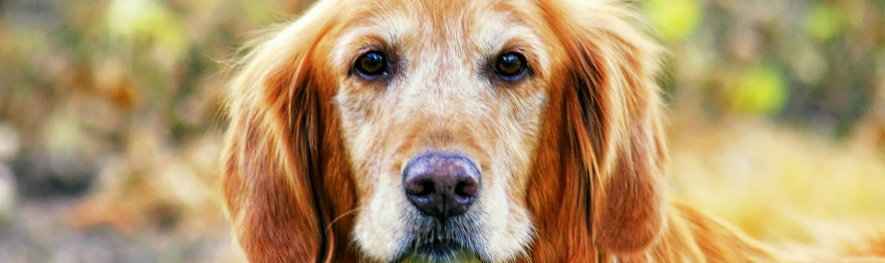 senior-dog-care