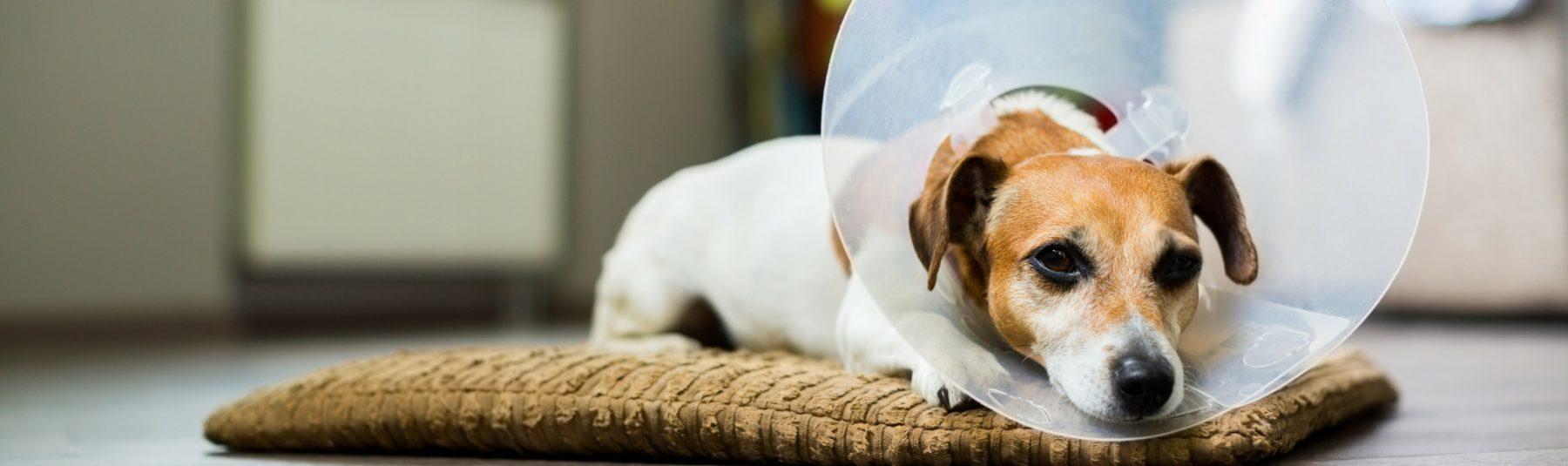 dog-spay-neutering