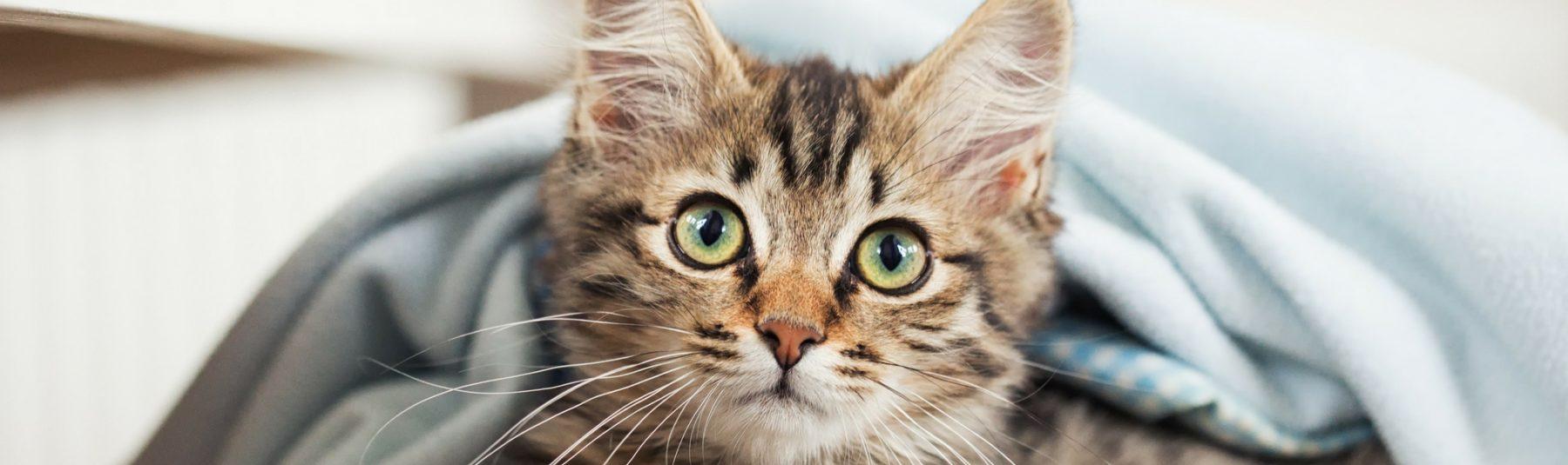 Feline Spay FAQ - glencarbonhawthorne.com