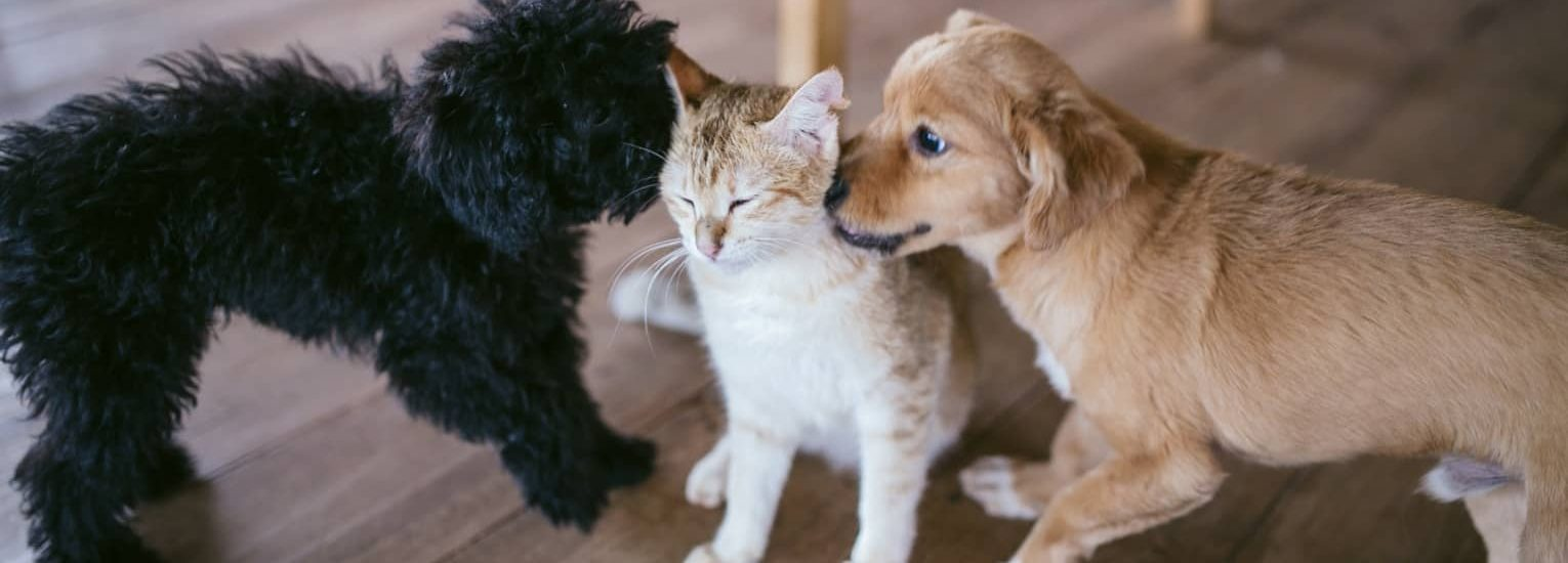 Two puppies sniffing a cat