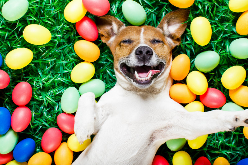 easter-eggs-dog